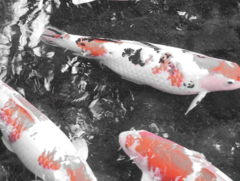 Koi fish at Garden next to Okayama Castle